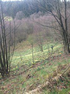 Narzissenblüte im Naturpark Nordeifel, Foto von Gertraud Knoblauch