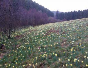 Narzissenwiesen im Oleftal, Foto von Kasimir Kinder (3)