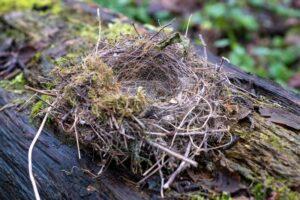 Nest einer Stelze